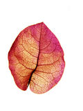 Leaf #8. Pink petal/leaf on light box, white background Royalty Free Stock Photography