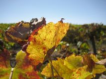 Leaf. In Vineyard Royalty Free Stock Photography