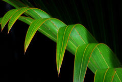 Leaf. Macro image of Coconut leaf in a forest and the park Stock Photo