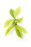 Leaf. Gardenia leaf with white background stock images