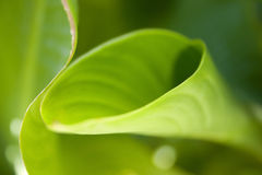 Leaf abstract. Canna leaves give a study in form and color creating a natural abstract Stock Photography
