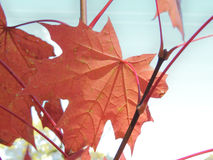 Leaf of Acer platanoides. Autumnal leaf of Acer platanoides (Norway maple Royalty Free Stock Photos