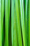 Leaf of Acorus calamus Stock Photography