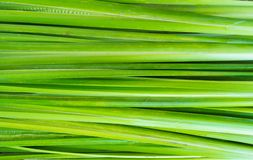 Leaf of Acorus calamus Royalty Free Stock Image