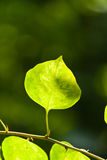 Leaf against the light Royalty Free Stock Photography