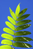 Leaf Against the Sky. Green leaves on the sumac tree against a deep blue sky Stock Images