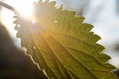 Leaf against the sun closeup Stock Photo