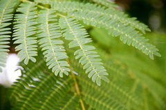 Leaf of Albizia julibrissin or Persian silk tree. Close-up macro Royalty Free Stock Photography