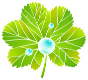 Leaf alchemilla and dew. Leaf and dew. Vector image Royalty Free Stock Photos