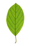 Leaf of Alder Buckthorn isolated on white Stock Photos