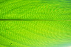 Leaf of Alligator Flag. Green leaf of Alligator Flag Royalty Free Stock Images