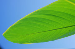 Leaf of Alligator Flag. Green leaf of Alligator Flag  in blue sky Royalty Free Stock Photography