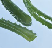 Leaf of aloe over blue background Stock Photography