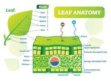 Leaf anatomy vector illustration diagram. Biological macro scheme poster. Royalty Free Stock Photo