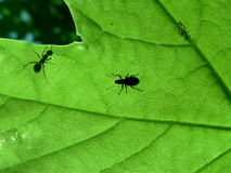 Leaf and ant. Shadow of insects on leaf Stock Photo