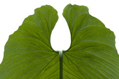 Leaf of Anthurium Stock Images