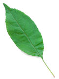 A Leaf of an Apple Tree Stock Photos