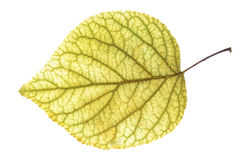 Leaf of the apricot. Yellow leaf of the apricot against the white background Stock Photos