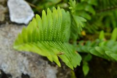 Leaf arrangement that is parallel and forms a pattern. Green leaf arrangement that is parallel and forms a pattern. Its growing beside the rocks royalty free stock image