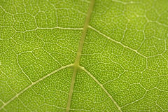 Leaf. Arteries of the leaf blade Royalty Free Stock Photography