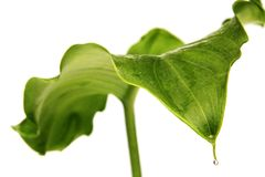 Leaf of arum lily and droplet Royalty Free Stock Image