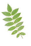 Leaf ash Royalty Free Stock Photography