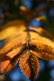 Leaf of an ash tree. In autumn Stock Photos
