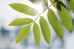 Leaf of the ash tree is backlit . Stock Photos