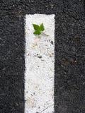 Leaf on asphalt. Leaf fallen upon a mark road line stock images