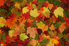 Leaf of autumn Royalty Free Stock Photos