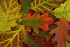 Leaf of autumn Royalty Free Stock Images