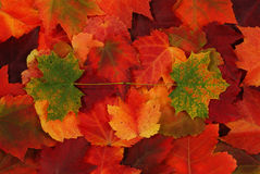 Leaf of autumn Royalty Free Stock Photo