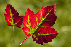 Leaf of autumn Royalty Free Stock Image