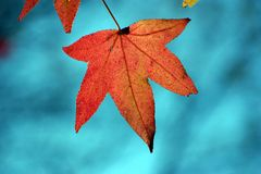 Leaf in Autumn. Close up of light shining through a leaf in Autumn Royalty Free Stock Photo