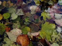 Leaf. Autumn colorful  leaf in pool Royalty Free Stock Image