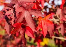 Leaf in autumn colors in sunlight Royalty Free Stock Images