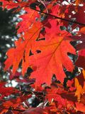 Leaf, Autumn, Leaves, Forest Stock Image
