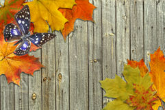Leaf autumn maple and butterfly Stock Photography