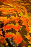 Leaf, Autumn, Maple Leaf, Orange Royalty Free Stock Photos