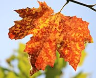 Leaf, Autumn, Maple Leaf, Tree royalty free stock photo