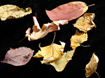 Leaf autumn nature at black background Royalty Free Stock Photo