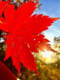 Leaf, autumn, red, beautiful, orange, sun, trees ,branch, maple Stock Images