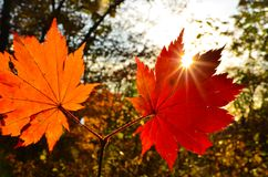 Leaf, autumn, red, beautiful, orange, sun, trees ,branch, maple Royalty Free Stock Photography