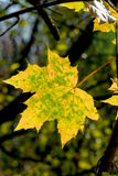 A leaf in autumn Royalty Free Stock Photos