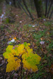 Leaf in Autumn in the woods, Monte Cucco NP, Appennines, Umbria, Royalty Free Stock Photo