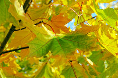 Leaf autumn yellow green Royalty Free Stock Photography