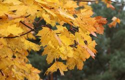 Leaf, Autumn, Yellow, Maple Leaf Stock Images