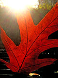 Leaf in autumnal color Stock Photography
