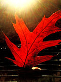 Leaf in autumnal color Stock Images