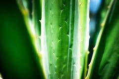 Leaf av aloe Royaltyfri Foto